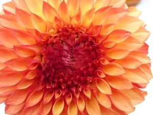 photo courtesy of Sarah Curtiss see her book: Dahlias, Dahlias, Dahlias at her website graceartgroup.com